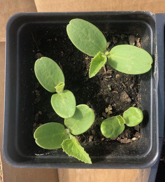 Cantaloupe seedlings