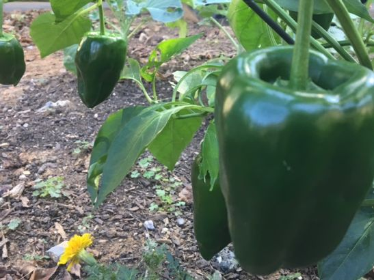 Image of a green pepper in the garden of PHA President and CEO Nancy E. Roman.